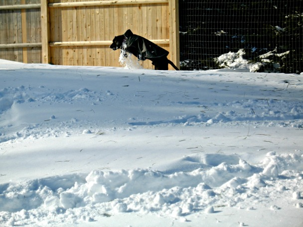Boogie channels his inner bunny rabbit to hop through the snow drifts.