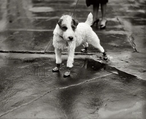 """Feb. 9, 1928. Washington, D.C. """"Peter Pan, wire-haired terrier pet of the personal secretary to President Coolidge and Mrs. Edward T. Clark, arrived at the White House today attired in 'flapper galoshes'."""" (source)"""