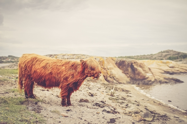 "I wish someone would hire me to pet sit a Highland Cow (otherwise known as a ""hairy coo"")."