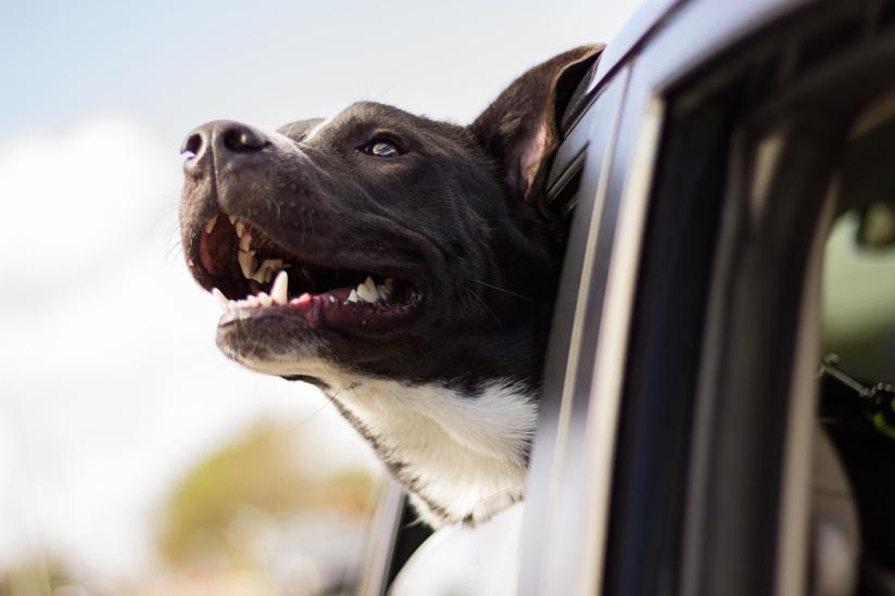 pit bull in car